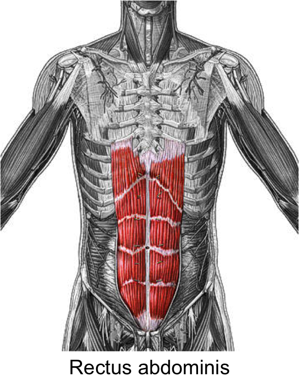 Image Result For Exercises For Rectus Abdominis